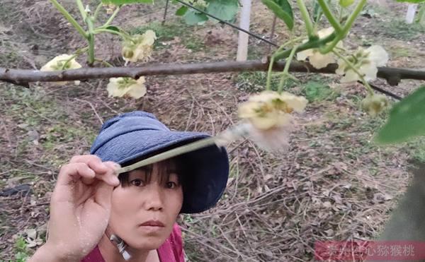 黄心猕猴桃花粉授粉