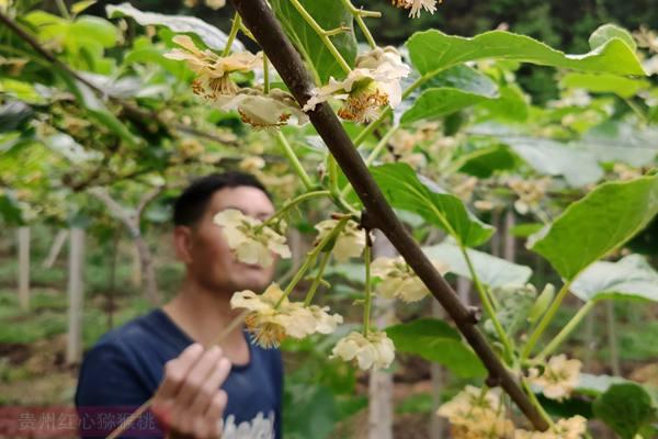 猕猴桃花粉价格