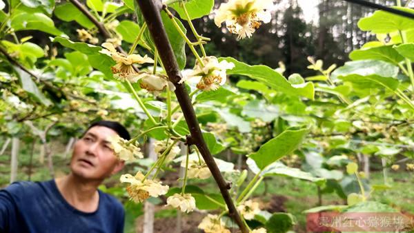阳光金果猕猴桃花粉