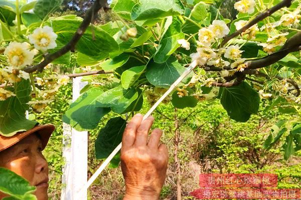 猕猴桃公树花粉