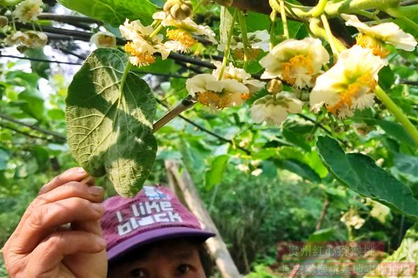 四川泸州市纳溪区开展有机猕猴桃质量追溯管理