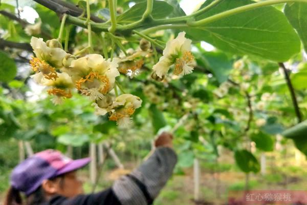 四川成都蒲江县在全国率先提出耕地保护与猕猴桃土壤质量提升计划