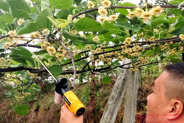 去年保存的猕猴桃花粉今年还能用吗?储藏保鲜授粉方法