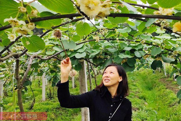 贵州有机猕猴桃花粉