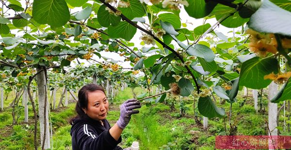 贵州有机猕猴桃授粉