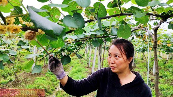 陕西周至绿心有机猕猴桃因为疫情滞销