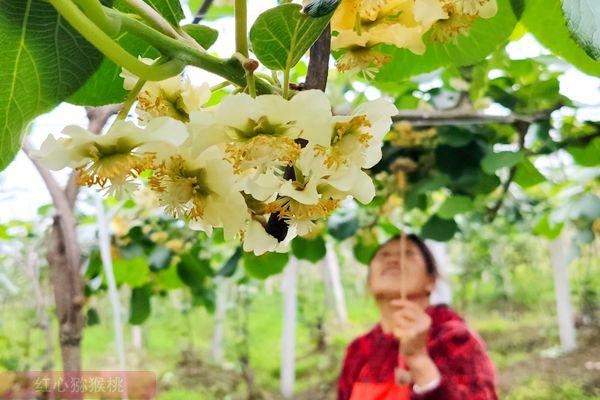 软枣猕猴桃授粉