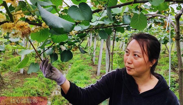 湖北广水市有机猕猴桃基地产业高质量发展