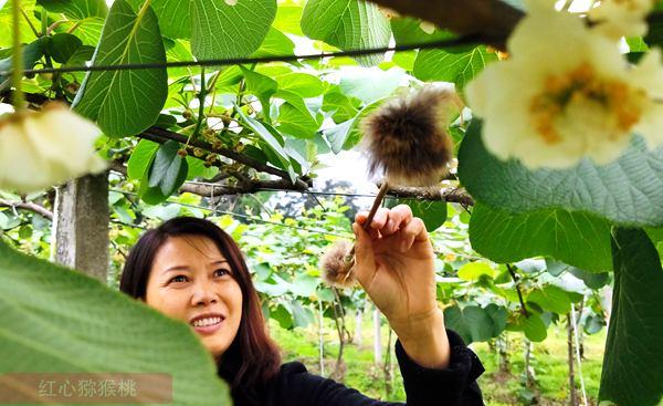 湖南省靖州县渠阳镇渠江村红心白白色基地迎来了第一批有机果的采摘季
