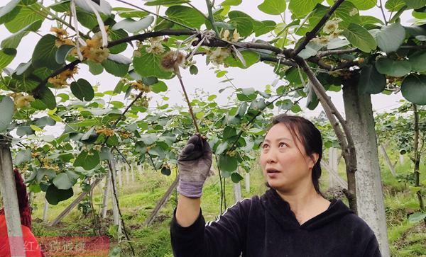 中國醋栗的前世今生 新西蘭獼猴桃的發展過程 今天在貴州遵義發展壯大
