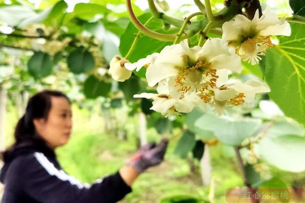 贵州生态环境好,礼盒装的特级红心猕猴桃受欢迎