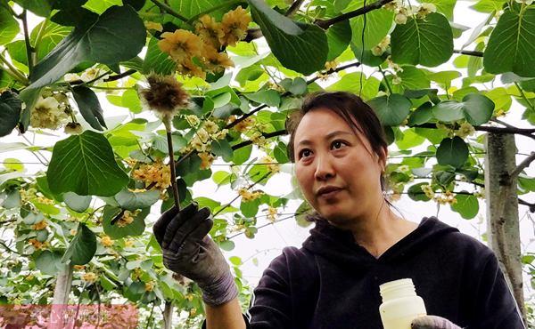 云南红河石屏县红心猕猴桃种植面积连年提高
