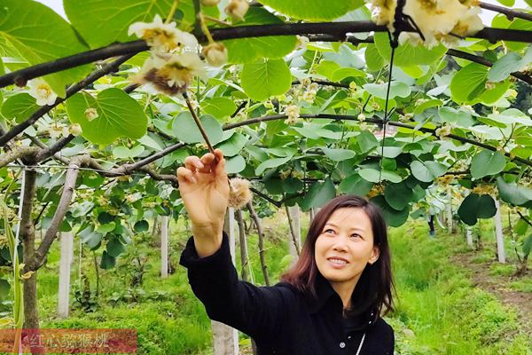 猕猴桃花粉的科学保管和使用知识