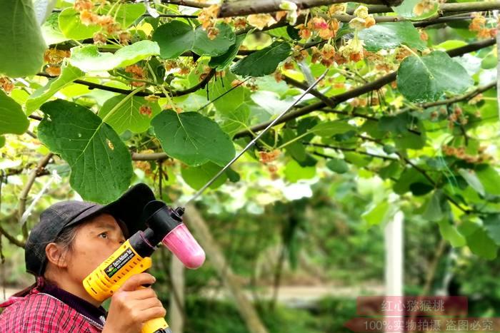 不同授粉器对猕猴桃花粉授粉效果的影响
