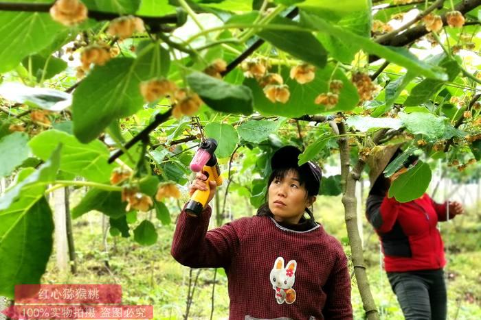 东红猕猴桃授粉