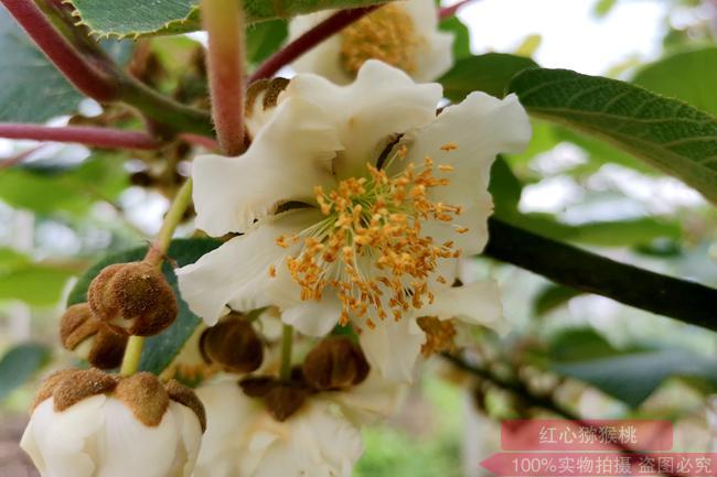 阳光金果G3猕猴桃花粉