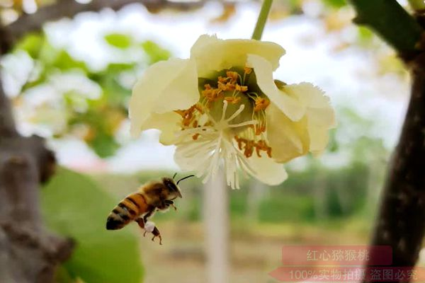 江西省养蜂所科技人员在奉新县猕猴桃产业园开展蜂授粉试验