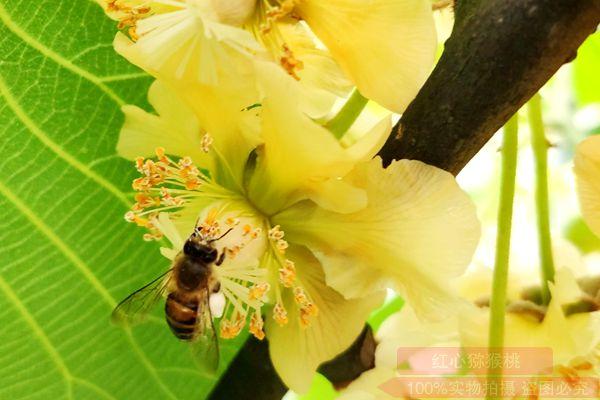 黄肉猕猴桃授粉