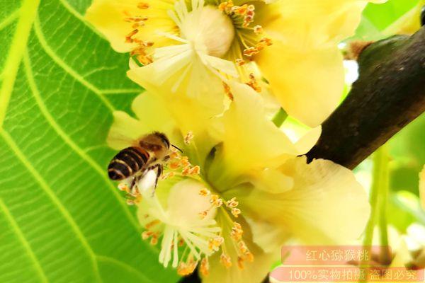 金秋十月 河南西峡引来了猕猴桃采摘季节