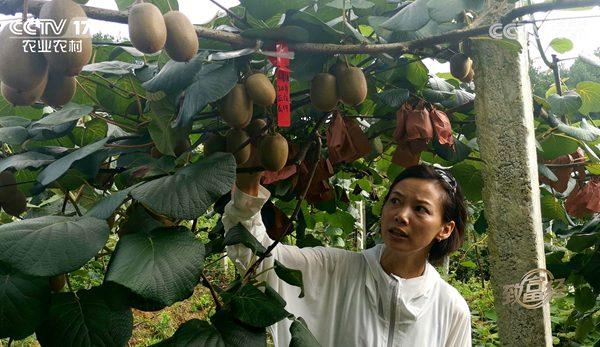 新品种黄心猕猴桃