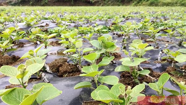十年努力四川成都都江堰種植了生態有機獼猴桃