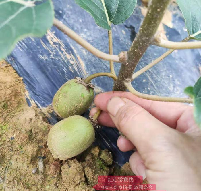 猕猴桃苗什么时间栽种几月份