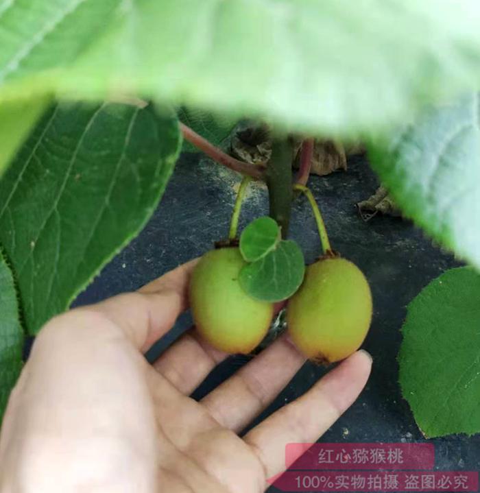 黄心猕猴桃种苗