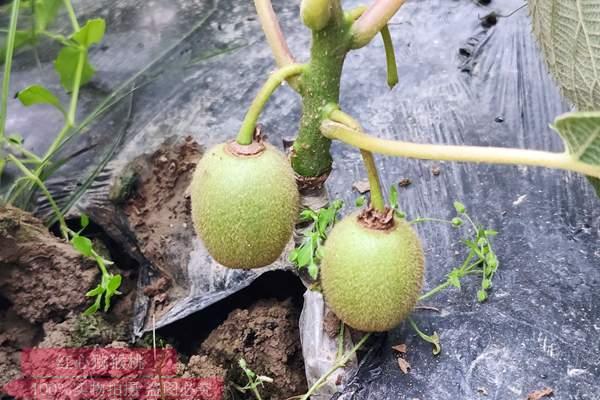 贵州猕猴桃嫁接苗