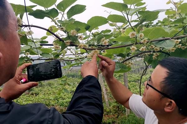 猕猴桃花粉检测