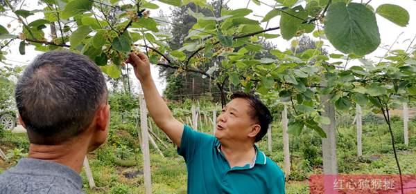 依托科技力量 湖南大力打造猕猴桃产业基地