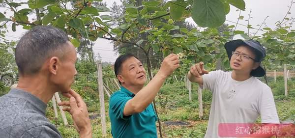 贵州高山有机红心猕猴桃认养
