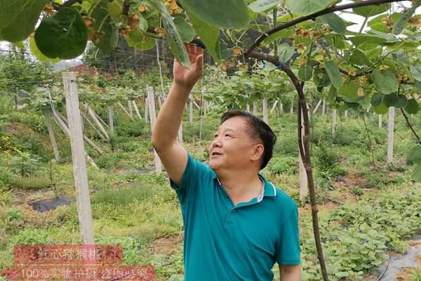 江西红心猕猴桃栽培技术