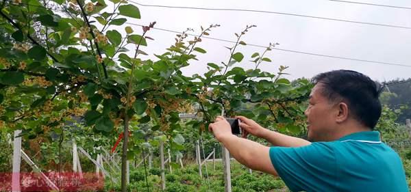 贵州毕节翠玉和瑞玉猕猴桃花粉哪里能买到要多少钱一克