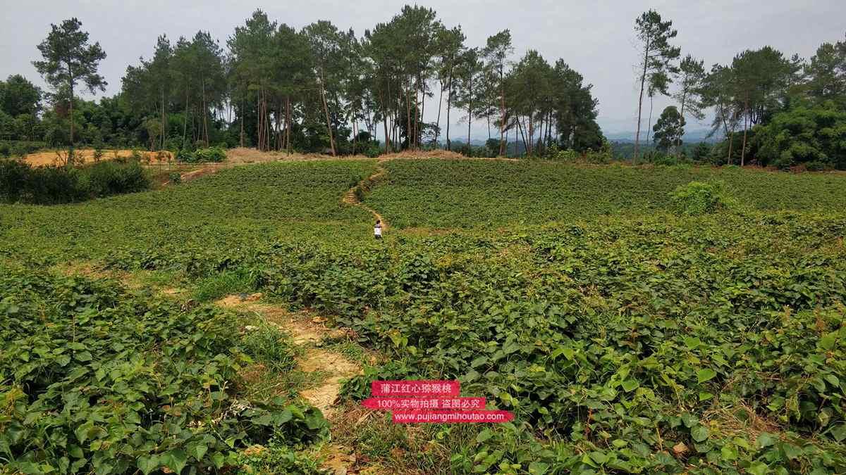东红猕猴桃种苗