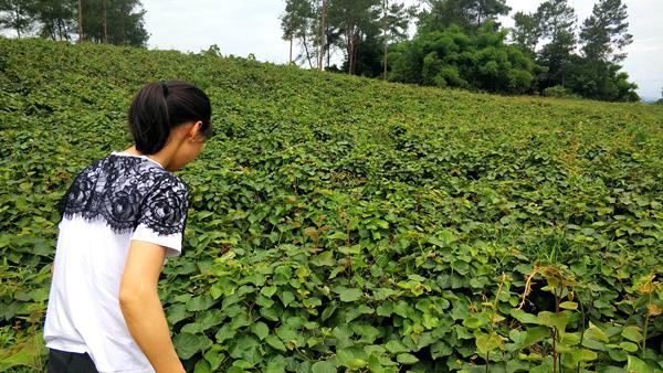 贵州猕猴桃种苗价格