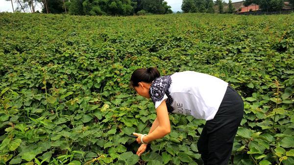 贵州贵长猕猴桃种苗价格