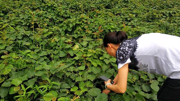 贵州贵长猕猴桃苗木