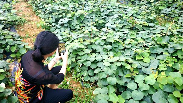 贵州贵长猕猴桃种苗