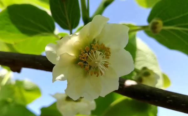 猕猴桃花粉的科学保管和使用知识 醒粉