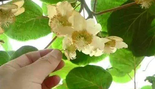 猕猴桃对花授粉