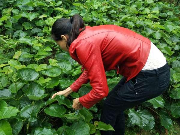 贵州有机猕猴桃苗