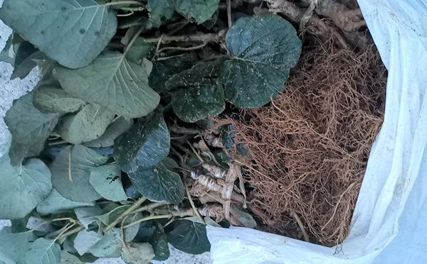阳光金果猕猴桃苗圃