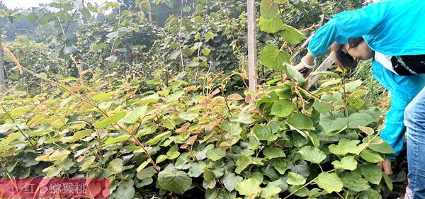 sungold金奇异果苗圃