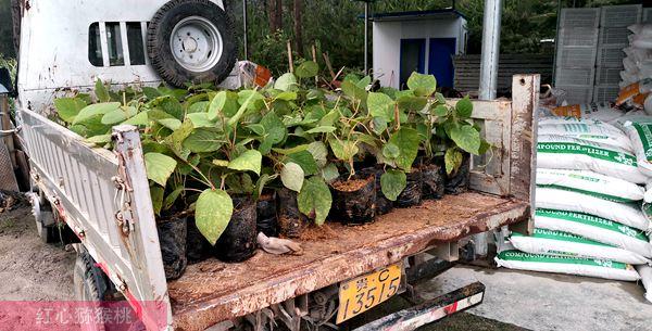 瑞玉猕猴桃苗