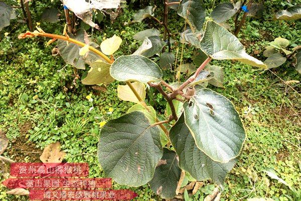 贵长猕猴桃苗