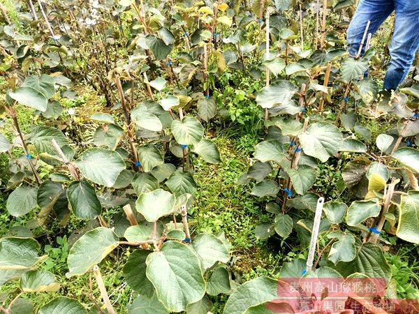 贵州猕猴桃苗