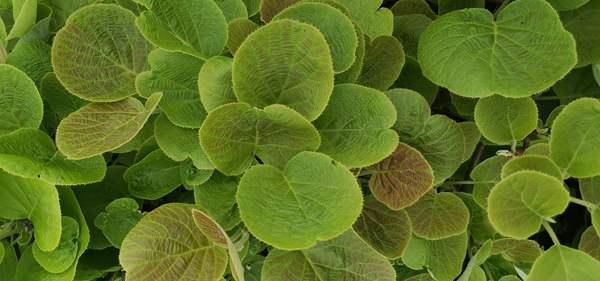 东红猕猴桃嫁接苗木