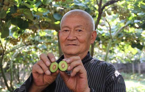 七旬老人扎根深山 种植了百亩红心猕猴桃