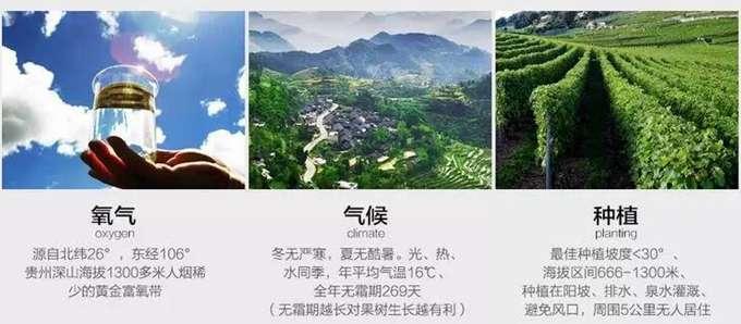 贵州省贵阳市修文县是全国第三大猕猴桃产区 主要种植贵长猕猴桃苗