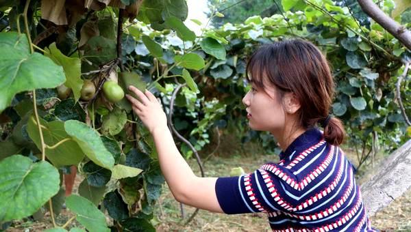 山东莱州市猕猴桃喜迎收获季 采摘尝鲜正当时